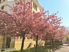 Wunderbar duftende, blühende Kirschbäume