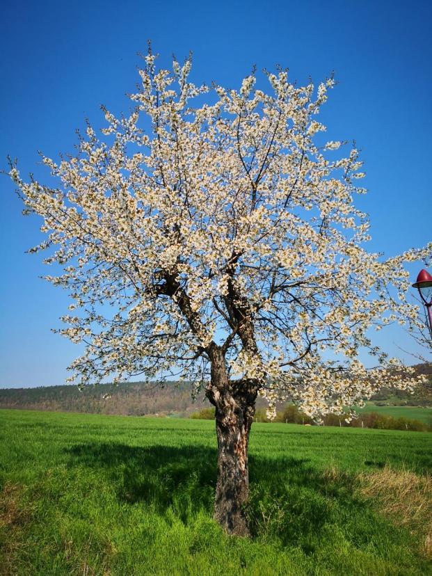 Wie schön jetzt die Kirschbäume blühen