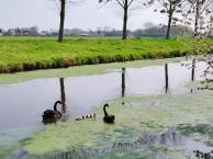 Schwäne mit Nachwuchs auf einem Feld mit Wasserlinsen
