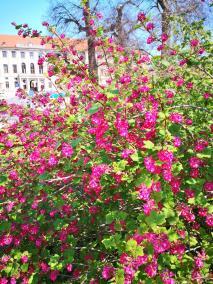 Blüte am Rand des Parks an der Ilm