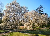 Blühende Magnolien im Schlosspark