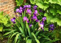 Blühende Iris am Haus Bürgel