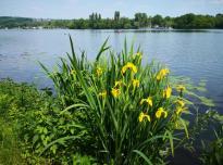 Wasserlilien am See