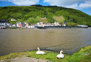 Schwäne an der Uferpromenande in Bullay. Auf der gegenüberliegenden Flussseite: Alf.