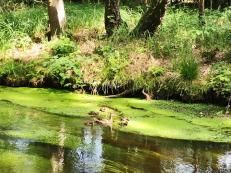 Futterparadies für Wasservögel und ihren Nachwuchs Die üppigen Wiesen mit Wasserlinsen in der Schwalm