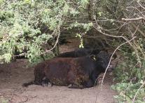Ur-Rinder auf den Weideflächen an der Maas. Auch ihr Fell hängt voller Kletten.