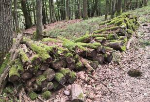Im Olefer Kirchenwald oberhalb von Mauel: Sieht aus wie gefällt und nicht abgeholt.