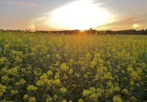 Sonnenuntergang über dem Rapsfeld