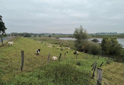 Schafe auf dem Deich am Altrheinarm zischen Wardhausen und der Schenkenschanz
