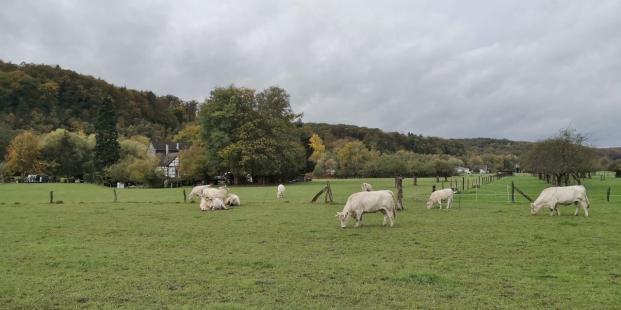 Rinder auf den Wiesen im Ruhrtal