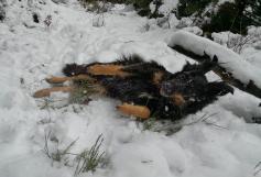 Doxi rollt sich erst einmal schön im Schnee ab.
