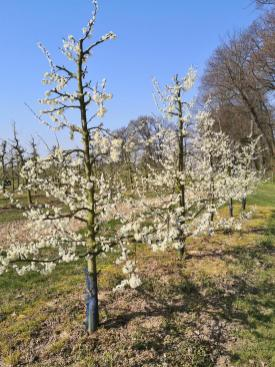Blühende Obstbäume rund um Schlos Dyck
