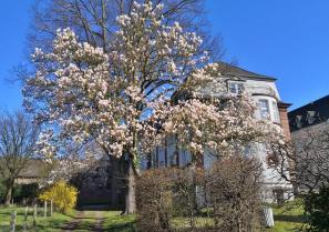 Wunderschöne blühende Magnolie auf dem Klostergelände