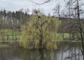 In diesem Baum brüten mehrere Paare von Fischreihern