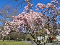 Wunderschöne Magnolie im Neusser Stadtgarten