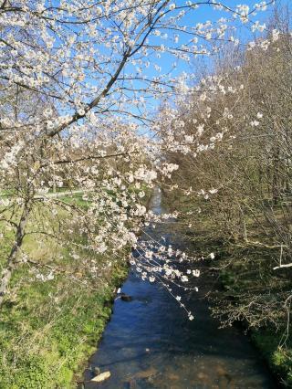Kirschblüte an der Niers