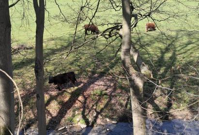 Robuste Galloway-Rinder auf den Weiden im Stinderbachtal
