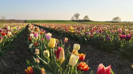 Im März blühten die Tulpen