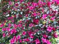 Bezaubernd hübsche Blüte an einem Wohnhaus in Sundwig
