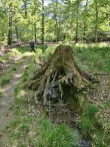 Hier hat ein kleinen Bachlauf einen abgeholzten Baum untergraben
