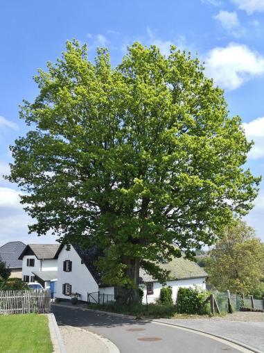 Prächtiger alter Baum in Rinnen