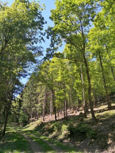 Der Kiefernwald dominiert im Ebbegebirge, doch abgeholzte Flächen werden mit Laubwald wieder aufgeforstet