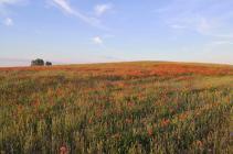 Kornfelder mit Klatschmohn bei Hager