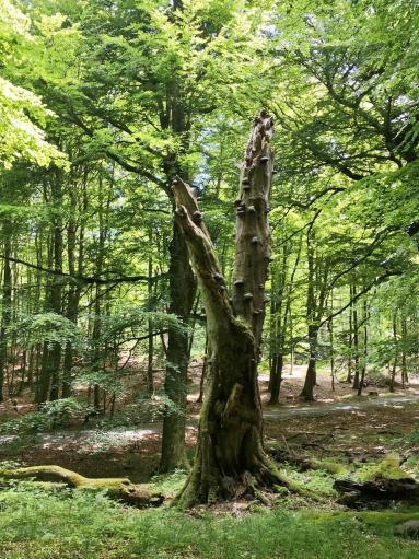 Abgestorbener Baum im Stubnitz