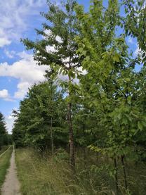Kirchbäume am Wegesrand im Wald mit wunderbar reifen und leckeren Sauerkirschen