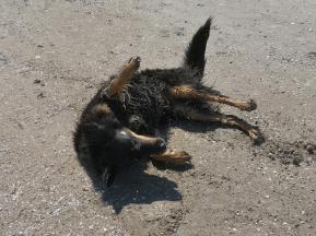 Anschließend rollt sich Doxi erst einmal schön im Sand trocken