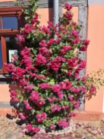 Wie schön jetzt die Rosen an den Häusern blühen