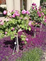 Rosen an der Orangerie