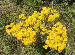 Braune Falter auf gelben Wildblumen