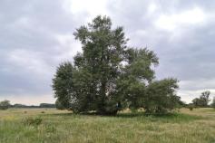 Mächtiger Baum am Elbufer