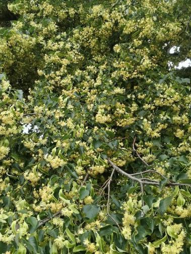 Tausende von Blüten an einer blühenden Linde - und überall Bienen, die Pollen sammeln