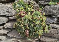 Hübsche Pflanze in einer Trockensteinmauer