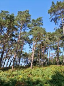 Farne bedecken an vielen Stellen den Waldboden unter den Kiefern