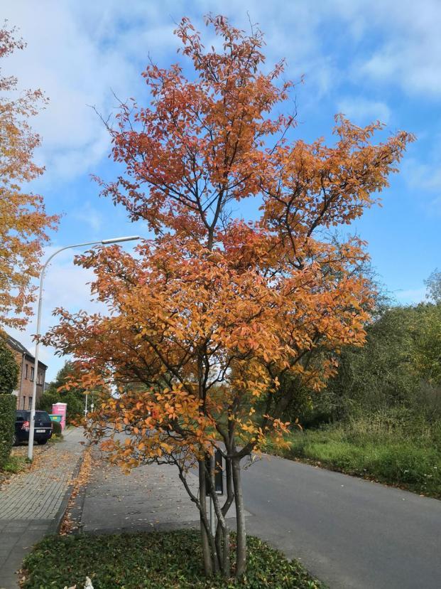 Herbstlich gefärbter Straßenbaum am Ortsrand von Liedberg
