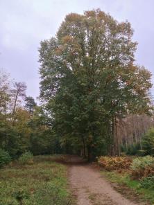 Noch zeigen die meisten Bäume im Lohmarer Forst kein Färbung