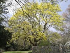 Die ersten Bäume im Schlosspark Styrum ergrünen