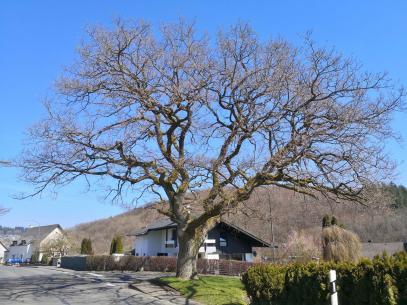 Noch wenige Tage, dann wird auch dieser prächtige Baum in Niederüprüm ergrünen