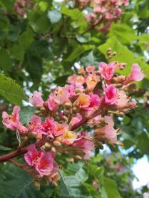 Bazaubernde Kastanienblüte in Rosa