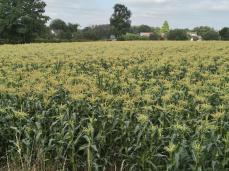 Blühender Mais auf dem Weg nach Westerholt