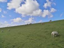 Schafe halten das Gras auf dem Deich kurz