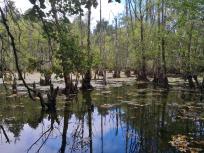 Abgestorbene Bäume in einem Feuchtgebiet am Rande von Drießen