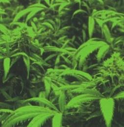 Cannabis Grn
