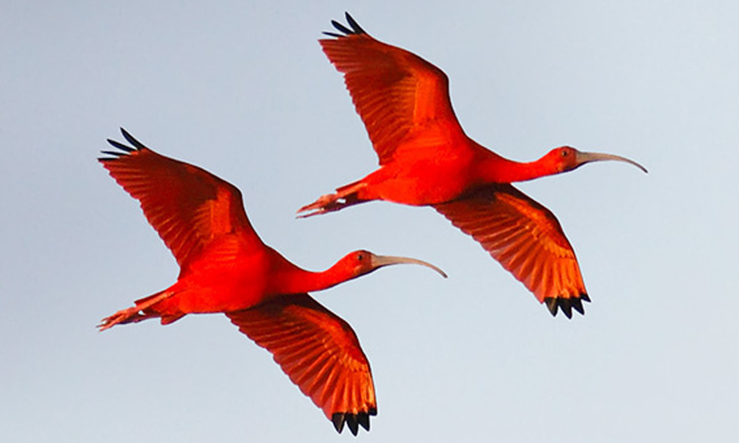 Centers blue star trinidad tobago the scarlet ibis one of the two national birds of trinidad tobago buycottarizona Choice Image