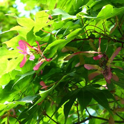 érable-fruit-caractéristique-ecoutelebois