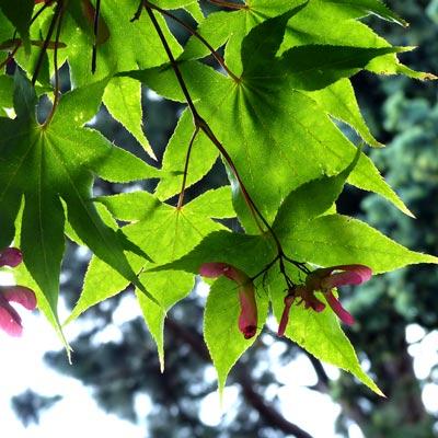 feuilles-d'érable-et-fruit