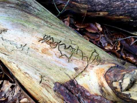 A bark beetle showed his craft